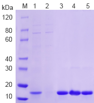 mammalian-system-case-15kda