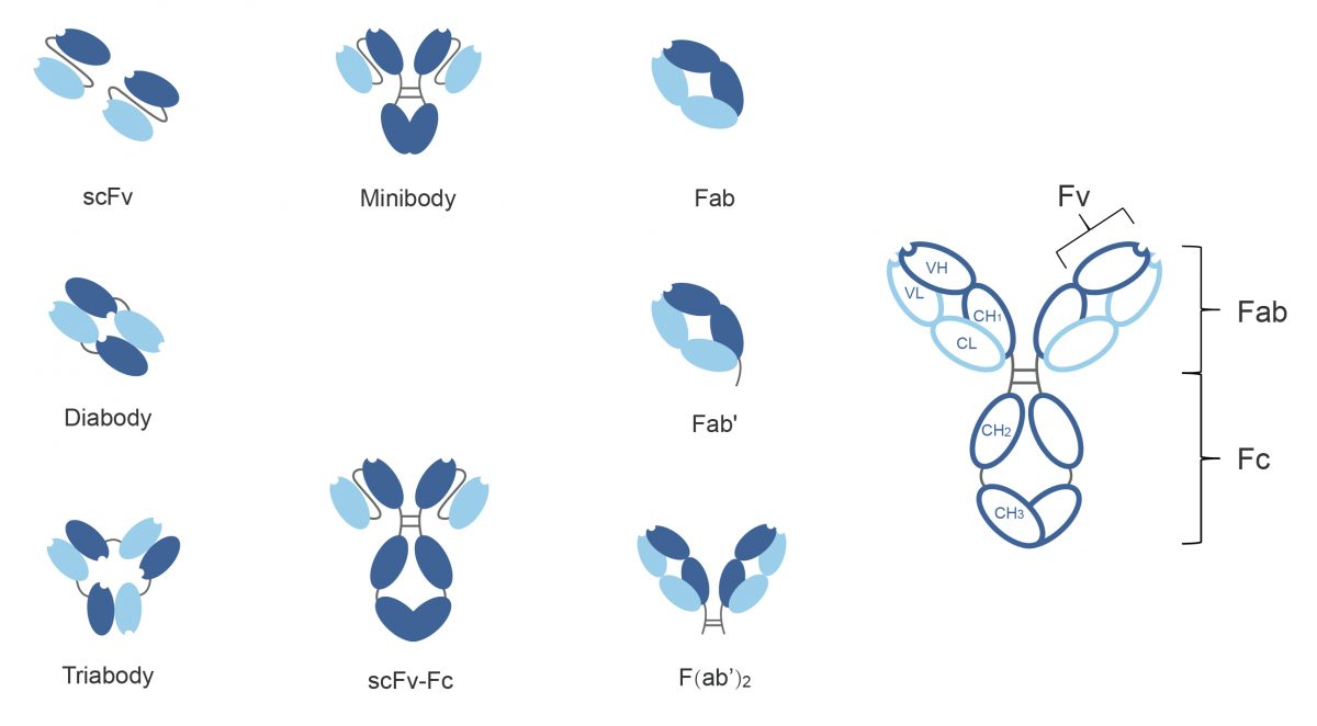 scFv antibody production