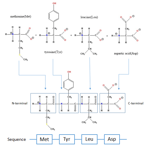 Chemical Peptide Synthesis Process