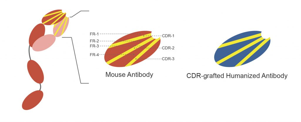 Antibody Humanization Design and Production