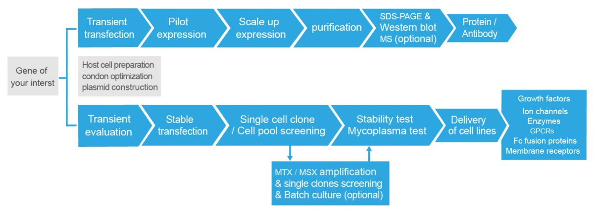 mammalian cell expression system