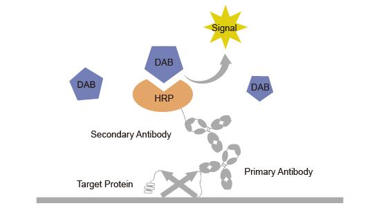 Horseradish peroxidase HRP