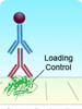 loading controls polyclonal antibodies