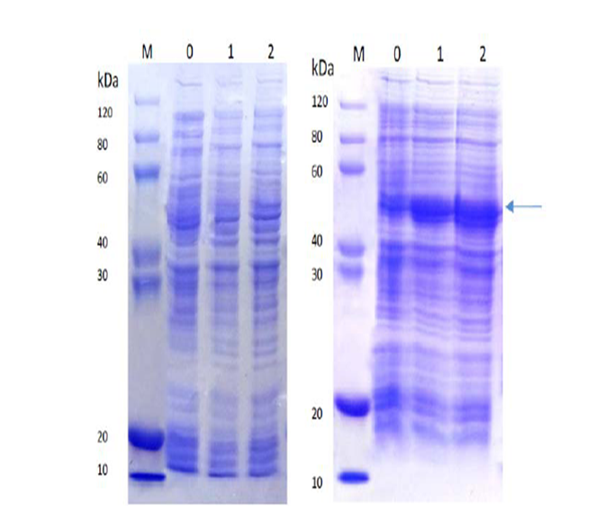 Comparison of SDS-PAGE analysis of target protein expression