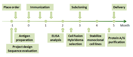 Custom monoclonal antibody production process