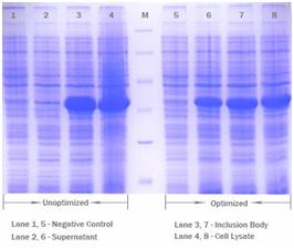 SDS-PAGE for Supernatant scFV expression