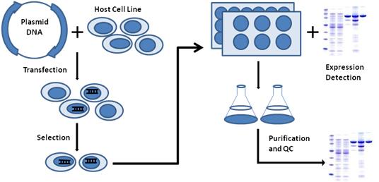 Transient Transfection Service Procedure