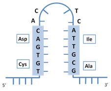 mRNA with optimized structure for transient expression