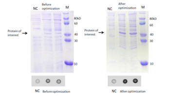Comparison of wildtype protein expression and optimized protein expressions
