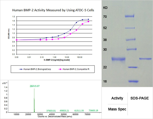 rhbmp-2 activity, mass specification and sds-page