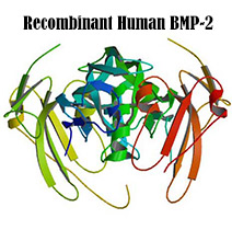 recombinant protein rhbmp-2