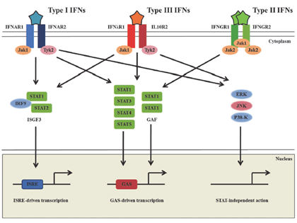 intracellular receptor and steroid hormone