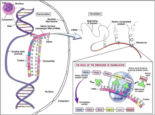 Protein Synthesis vs Protein Production - BiologicsCorp